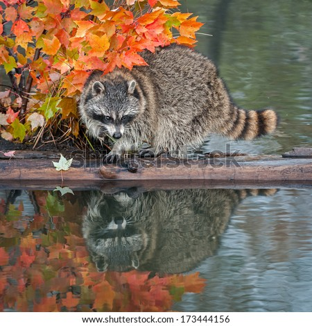Raccoon (Procyon lotor) With Reflection Looking Right - captive animal - stock photo