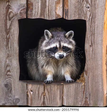 Raccoon sitting in the nest - stock photo