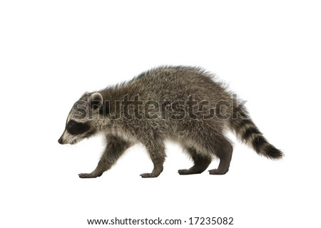 Raccoon walking on a white background - stock photo