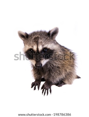 Raccoon with big head isolated on white background - stock photo