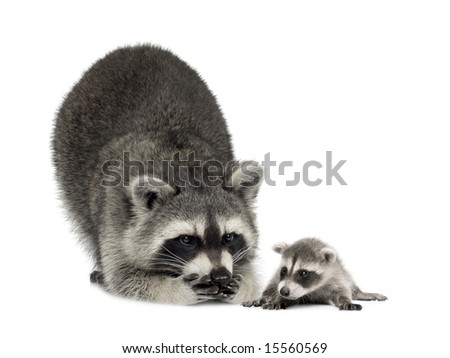 raccoonand her baby - Procyon lotor in front of a white background - stock photo