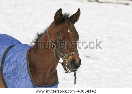 Race Horse Foal with winter blanket on him.