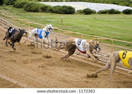Racing greyhounds on the track - stock photo