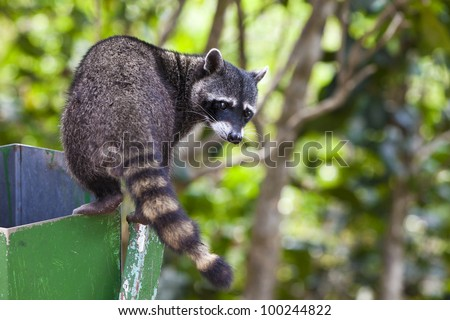 Racoon climbing a garbage bin in Manuel Antonio National Park, Costa Rica. - stock photo