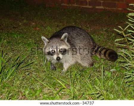 racoon grass land night scene direct view - stock photo