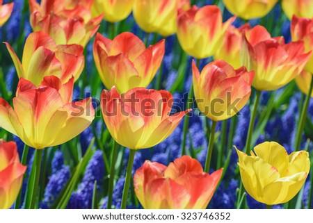 Rad and Yellow Tulips (shallow DoF) - stock photo