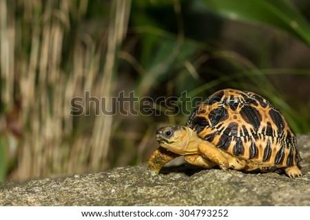 Radiated Tortoise  - stock photo