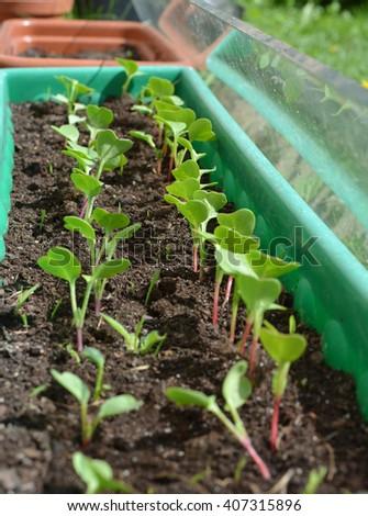 Radish little plants growing in the pot - stock photo