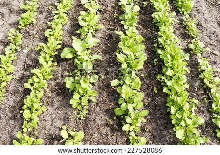 Radish plants in the organic vegetable garden The Groentenhof in Leidschendam, Netherlands. - stock photo