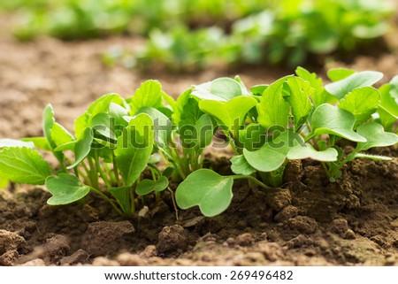 radish seedlings in the garden in spring - stock photo