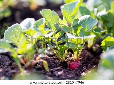 Radishes growing in the garden - stock photo