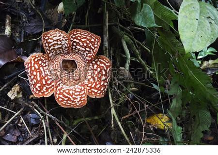 Rafflesia the biggest flower of the world (soft focus, shallow DOF, slight motion blur)  - stock photo