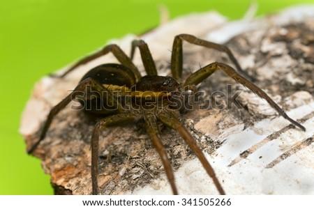 Raft spider, Dolomedes fimbriatus  - stock photo