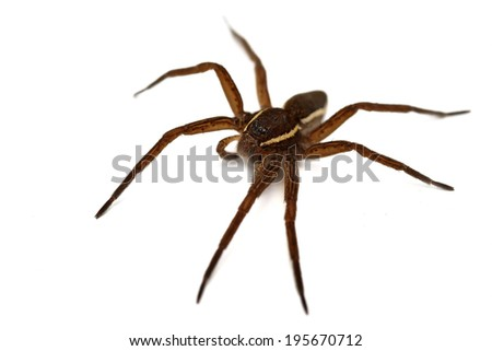 Raft spider Dolomedes fimbriatus isolated on white - stock photo