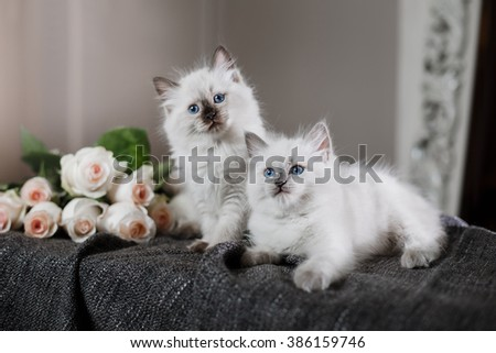 Ragdoll blue point little kitten on a colored background studio