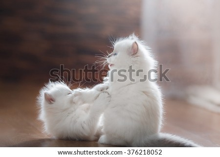 Ragdoll blue point two little kittens on a colored background studio - stock photo