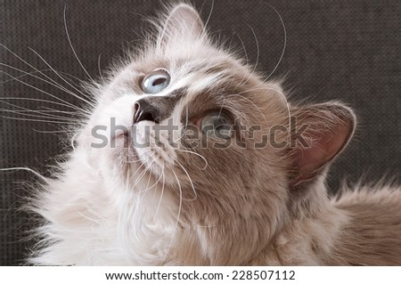 Ragdoll breed of cat face close-up - stock photo