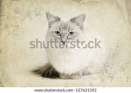 ragdoll cat - stock photo