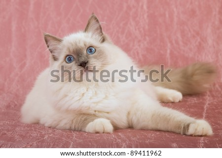 Ragdoll cat lying on pink backgrounds - stock photo