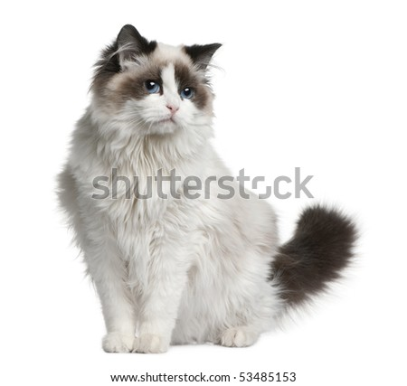 Ragdoll cat, 7 months old, sitting in front of white background - stock photo