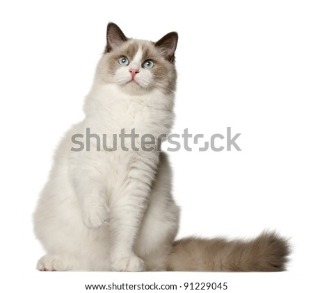 Ragdoll cat, 6 months old, sitting in front of white background - stock photo