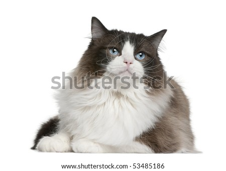 Ragdoll cat sitting in front of white background - stock photo
