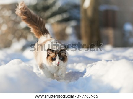 Ragdoll cat walk on the snow - stock photo