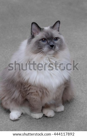 Ragdoll cat with blue eyes sitting indoor. Purebred blue mitted young male.  - stock photo