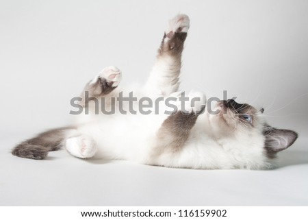 ragdoll kitten on colored background - stock photo