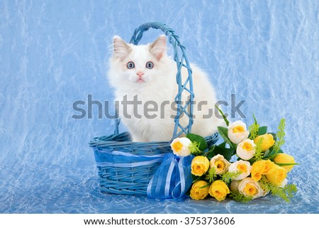 Ragdoll kitten sitting inside blue basket with yellow flowers against blue background