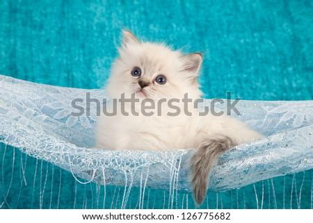 Ragdoll kitten sitting inside lace hammock on blue background - stock photo