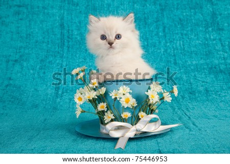 Ragdoll kitten sitting inside large cup decorated with white daisy flowers - stock photo