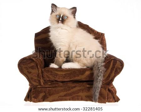 Ragdoll kitten sitting on miniature brown chair on white background - stock photo
