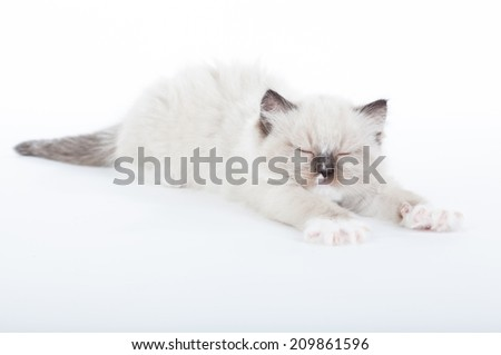 Ragdoll kitten wakening up and stretching - stock photo