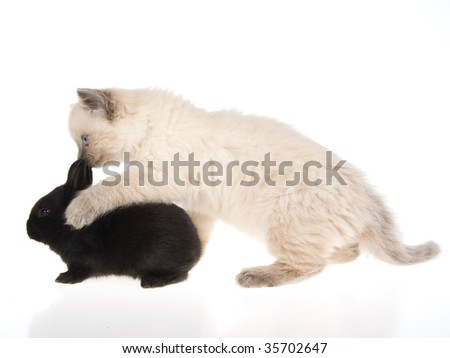 Ragdoll kitten with a black bunny on white background