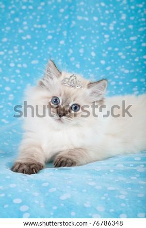 Ragdoll kitten with tiara on blue background - stock photo