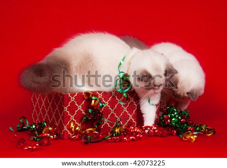 Ragdoll kittens investigating gift boxes on cloth red background - stock photo