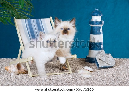 Ragdoll kittens on deck chairs on fake beach - stock photo