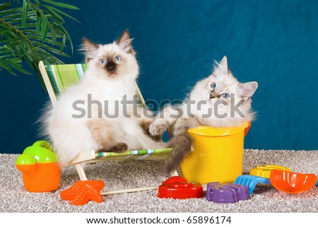 Ragdoll kittens on fake beach with buckets and spades - stock photo