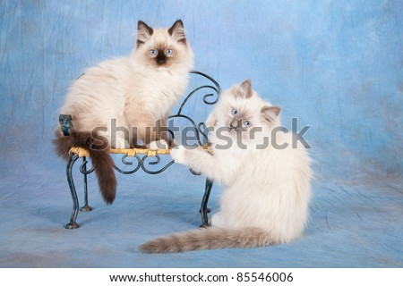Ragdoll kittens with chair on blue background - stock photo