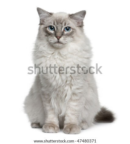 Ragdoll (6 months old), sitting  in front of a white backgroung