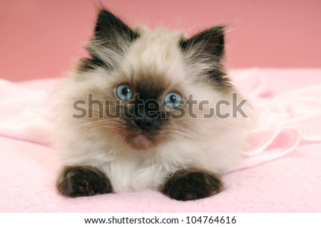 Ragdoll seal point kitten pink background - stock photo