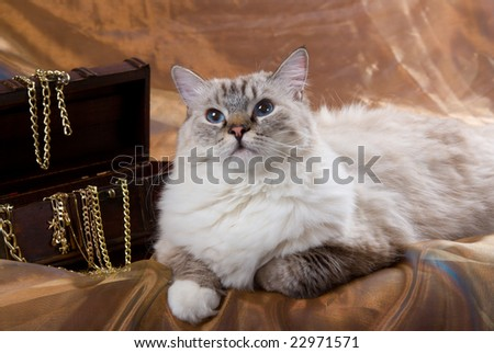 Ragdoll Sealpoint Tabby cat with treasure chest and gold chains - stock photo