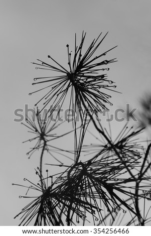 Rain dripping from pine tree needles. Abstract leaves and raindrops black and white. - stock photo