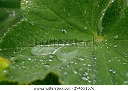 Rain Drops Collecting on a Lady's Mantle Leaf - stock photo