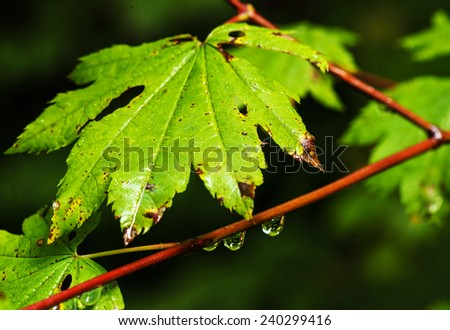 Rain drops forming on a green vine leaf maple.