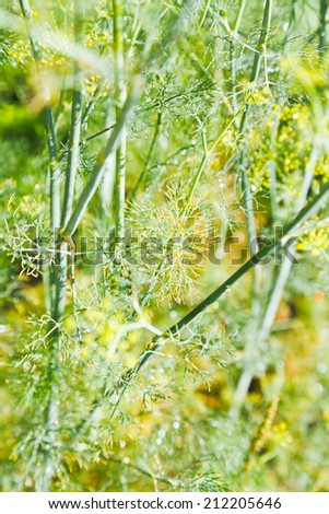 rain drops on dill herbs in garden close up - stock photo