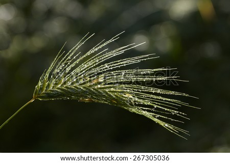 Rain drops on green grass spikelet - stock photo