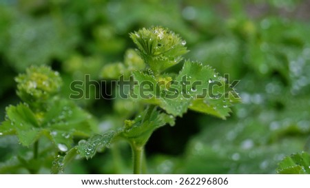 Rain drops on green plants - Soft focus, image useful as background