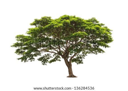Rain tree (Albizia saman), tropical tree in the northeast of Thailand isolated on white background - stock photo
